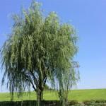 風景001(柳の木)