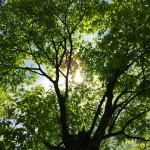 風景005(新緑の樹)