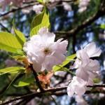花007(さくら)石川県樹木公園