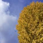 風景015(紅葉した銀杏の木)