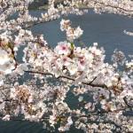 花015(さくら)