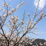 花016(さくら)
