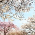 花018(さくら)多々の種類が咲く京都の桜