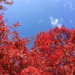風景035(青空と紅葉)