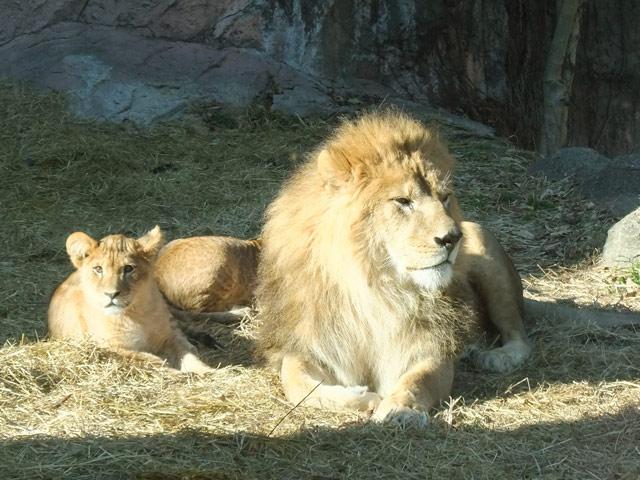 動物06(ライオンの親子)