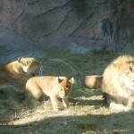 動物07(ライオンの親子)