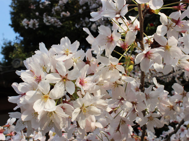 花035(さくら)