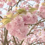 花037(八重桜)