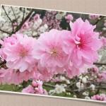 花039(桃の花・フォト風)