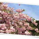 花044(八重桜・フォト風)