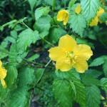 花061(雨の中咲くやまぶき)