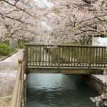 花062(桜のトンネルと橋)