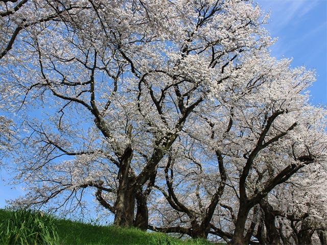 花063(足羽川の桜並木)