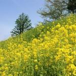 花065(日野川河川敷の菜の花)