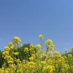 花066(日野川河川敷の菜の花)
