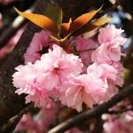 花068(満開の八重桜)
