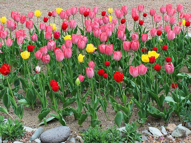 花070(チューリップの花壇)