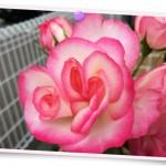 花077(ピンクのばら・フォト風)