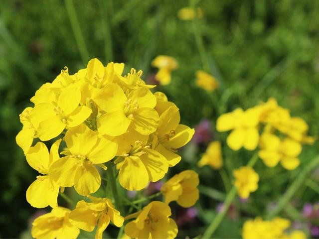 花088(菜の花)