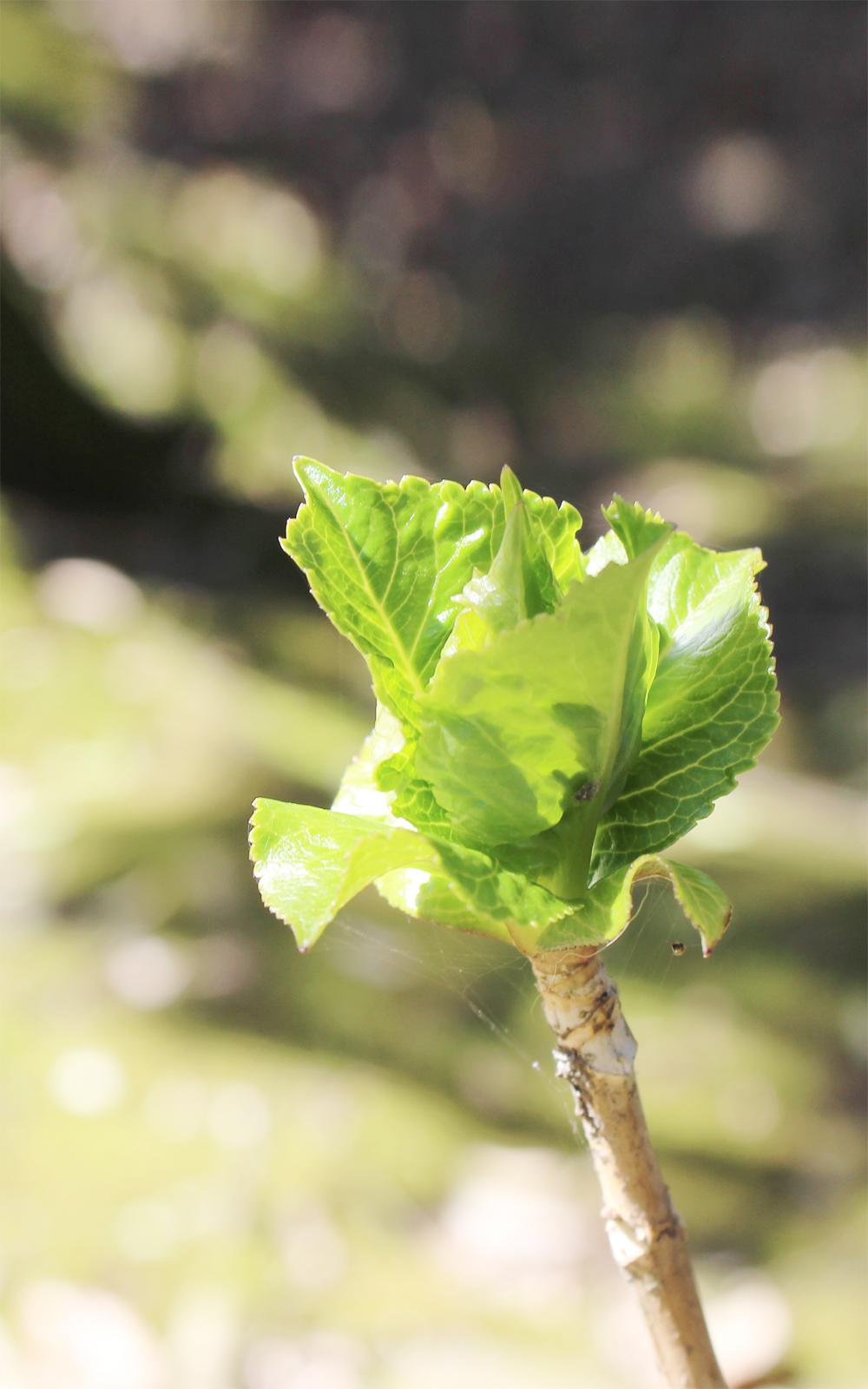 あじさいの芽の写真画像(P010)
