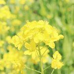 菜の花の写真画像(P006)