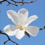 こぶしの花の写真画像(P007)