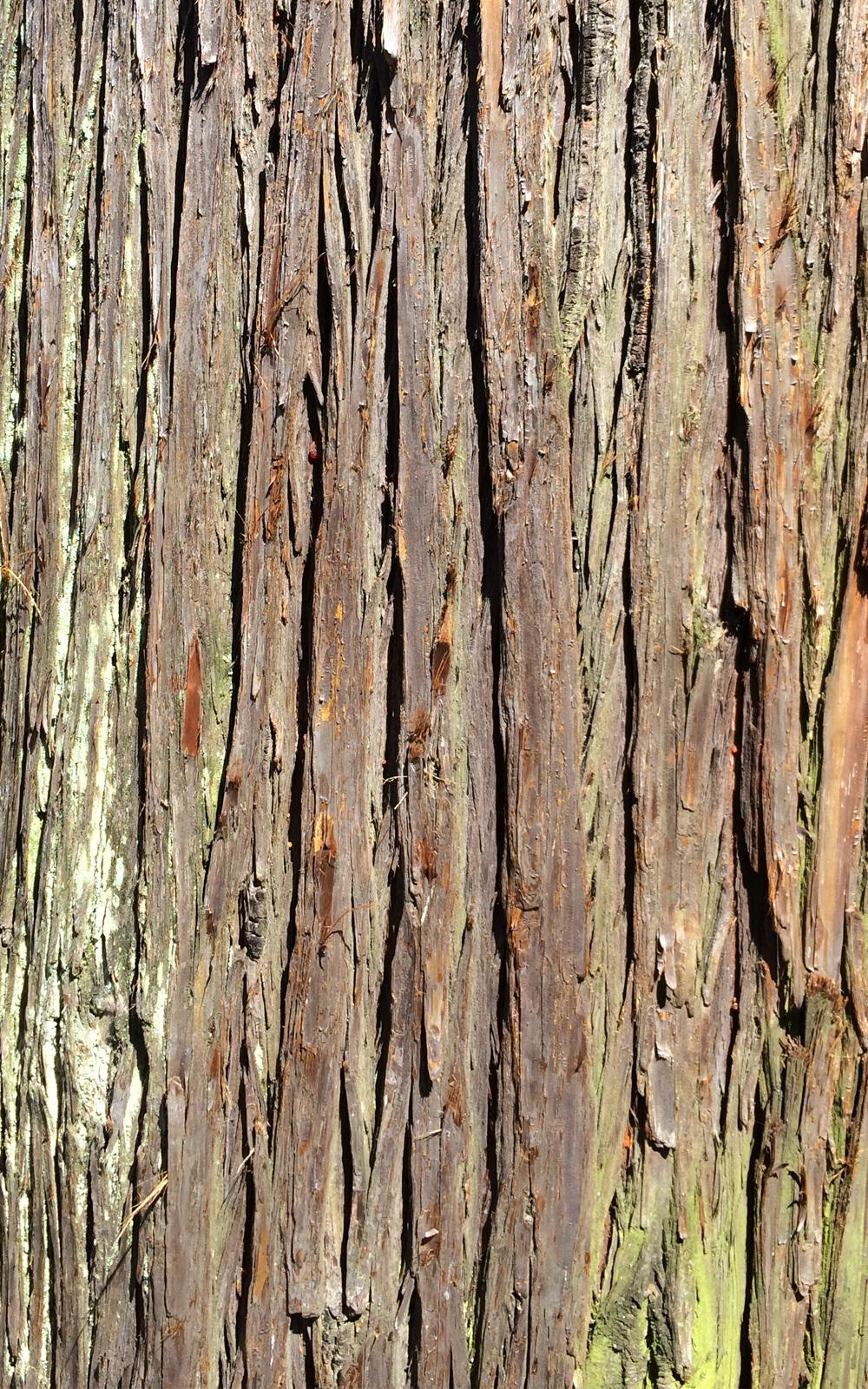 杉の木の写真画像1(P036)