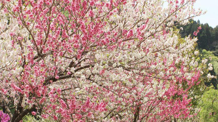 花桃と花畑の写真画像1(P042)