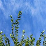 勢いのある新緑と青空の写真画像(P044)